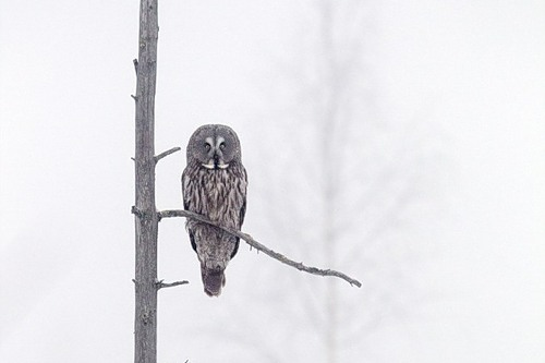 Beautiful Great Grey Owl. Photo by British Wildlife photographer Jules Cox