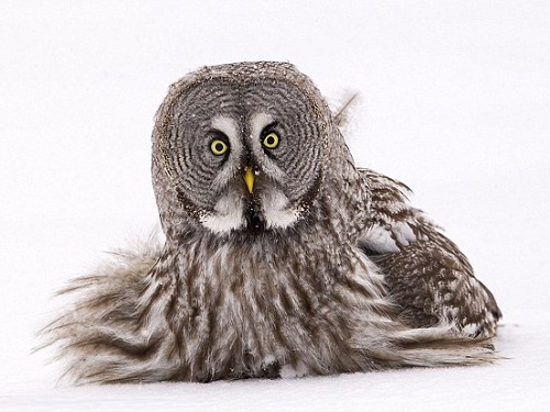 The great gray owl can survive the cold winter in the northern forests due to its soft and dense plumage. Photo by British Wildlife photographer Jules Cox