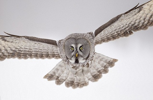 Flying Great Grey Owl. Photo by British Wildlife photographer Jules Cox