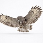 The great gray owl is the largest owl, but its size is due to its plumage. In fact, great gray owl weighs almost half as much as other owls of the same size