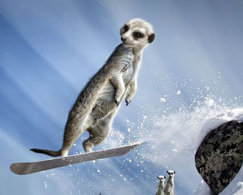 Maverick Meerkats calendar 2013. In January, one mongoose is snowboarding, as his New Year resolution