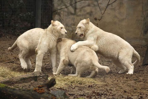 It is widely believed that white lions could not survive in the wild, for this reason a large part of the population of white lions are in zoos.
