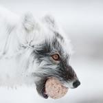 Kamchatka animals by Sergey Gorshkov