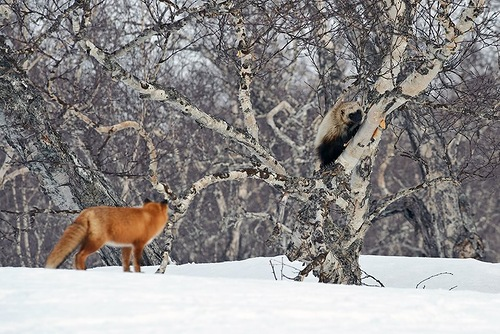 Kamchatka animals by Sergey Gorshkov