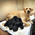 12 Black puppies born on 12.12. 2012