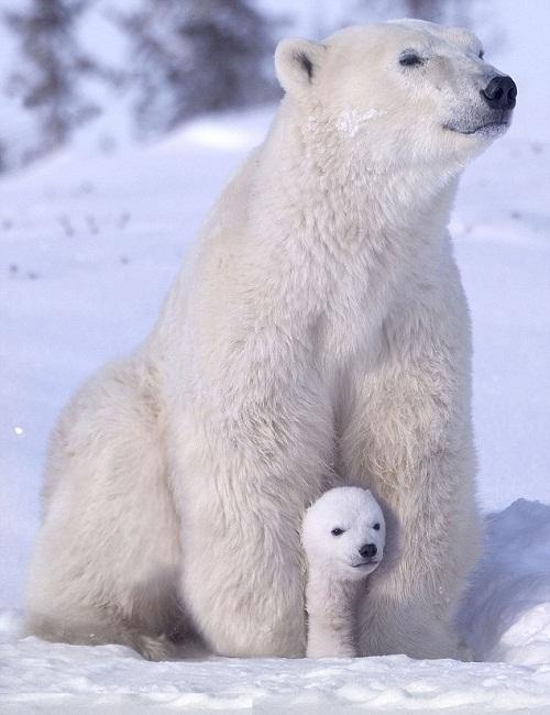 Polar bears' paradise