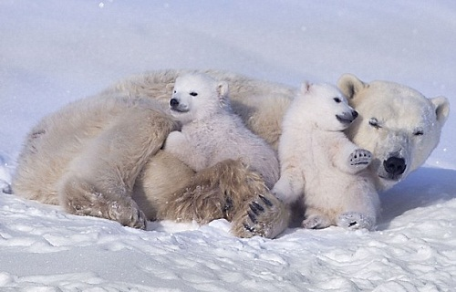 Happy moments of Polar bear cubs and their mother. Waspusk National Park of Canada, Photo by Keren Su