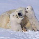 Mother bear shows her patience and love to her children. Polar bears in Waspusk National Park in Canada, by American photographer Keren Su