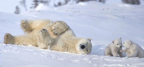 Looks like bear cubs are having some plan. Polar bears in Waspusk National Park in Canada, by American photographer Keren Su