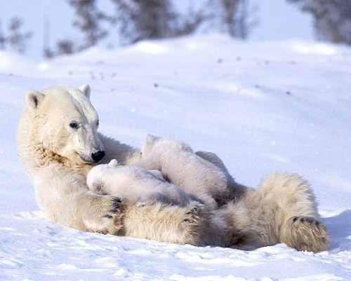 Amazing shot of Polar bears in Waspusk National Park in Canada, by American photographer Keren Su