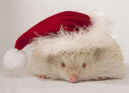 Snowball albino hedgehog