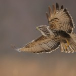 Adult falcons have thin, tapered wings, which enable them to fly at high speed and change direction rapidly