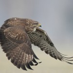 "Falcons kill with their beaks, using a ""tooth"" on the side of their beaks—unlike the hawks, eagles, and other birds of prey"