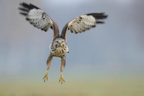 Nature photographer Robert Babisz captured the life of falcons
