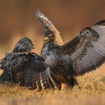 Arguing couple of falcons. Restless life of Falcons by Polish photographer Robert Babisz