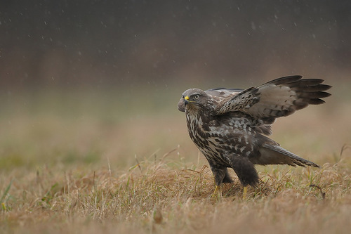 Robert Babisz, Polish nature photographer has created a series of photographs depicting the life of birds of prey