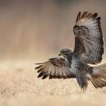 Beautiful Falcons by Polish photographer Robert Babisz