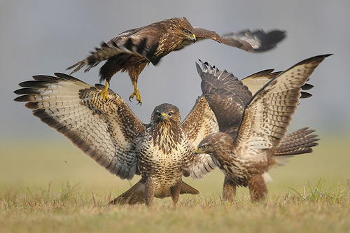 Restless life of Falcons by Polish photographer Robert Babisz