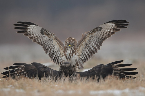 Spread wings. Restless life of Falcons by Polish photographer Robert Babisz