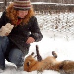 Playing in the snow. Siberian scientist Irina Mukhamedshina with her tamed fox Nyuta