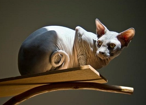 The most unusual breeds of cats