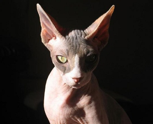 The most unusual breeds of cats - Sphinx