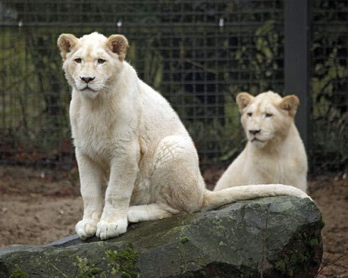 The Global White Lion Protection Trust estimate there are an estimated 300 White Lions world-wide.