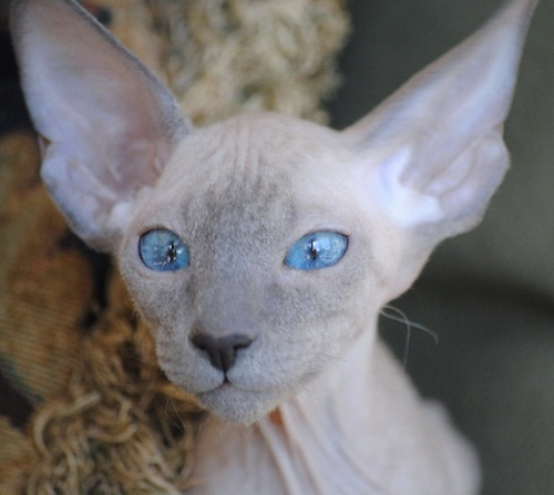 most unusual breeds of cats The Peterbald