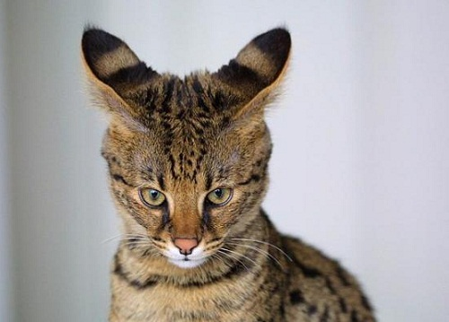 most unusual breeds of cats The Savannah