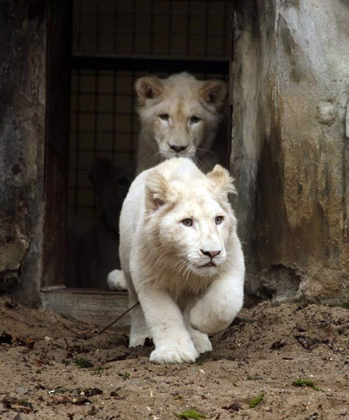 White lion miracle of nature