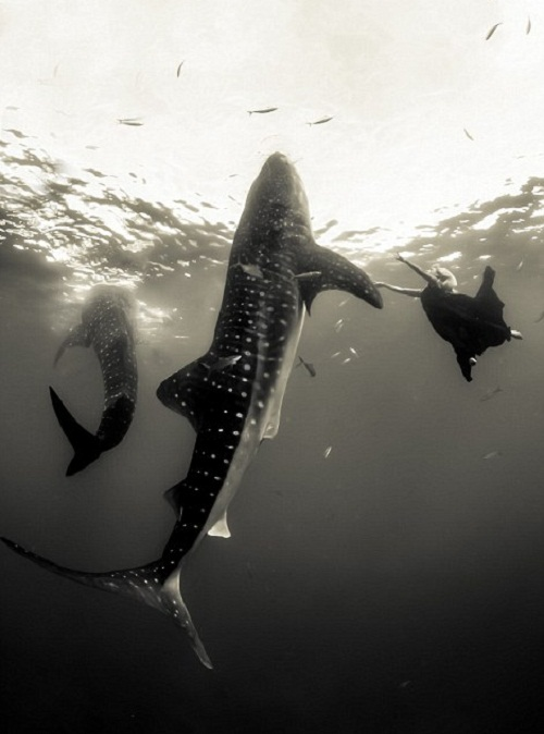 Photo-session of beautiful models with whale sharks