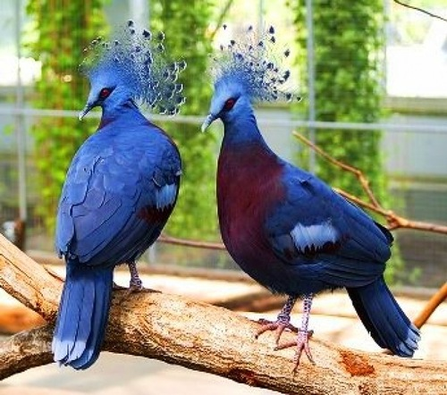 The crowned pigeons (Goura)