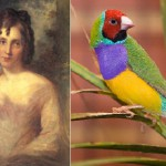 Beautiful Finch Lady Gould history