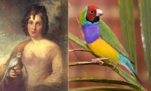 Beautiful bird Finch Lady Gould, named by British naturalist and ornithologist John Gould in memory of his wife