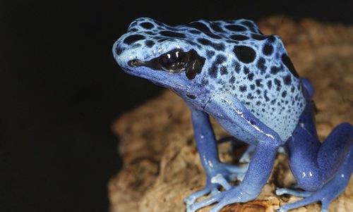 Dart Frog or poison frog