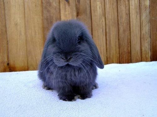 American Blue Rabbit