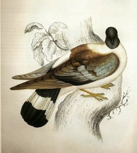 Snow Pigeon, illustration by Elizabeth Gould