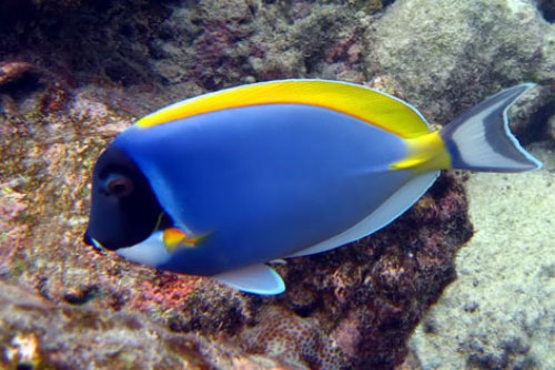 The blue-and-yellow fish-surgeon