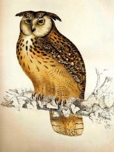 An owl, illustration by Elizabeth Gould