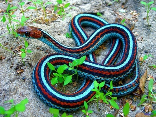 Neon-Blue African coral snake