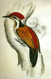 Himalayan Golden-backed Three-toed Woodpecker, Dinopium shorii, painted by artist Elizabeth Gould, 1832