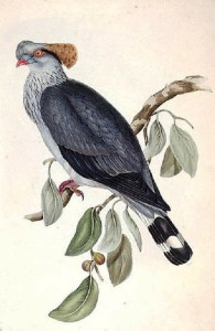 Lopholaimus antarcticus, hand-coloured lithograph by Elizabeth Gould