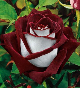 Bicolor rose under the name Osiria was selected in 1978 by the German company Kordes Rosen
