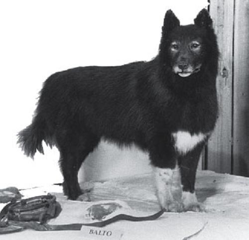 Heroic Siberian Husky Balto 1919-1933