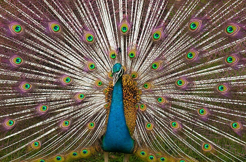 Peacock National Bird of India