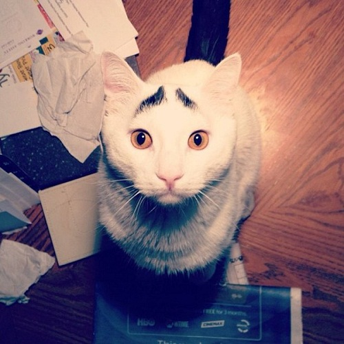 Sam cat with brows