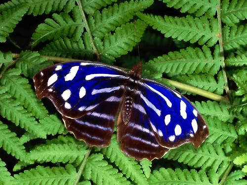 The Xerces Blue (Glaucopsyche xerces) is an extinct species of butterfly in the gossamer-winged butterfly family, Lycaenidae