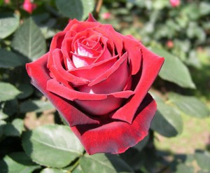 The company has about 150 employees, an annual sold more than two million roses around the world.