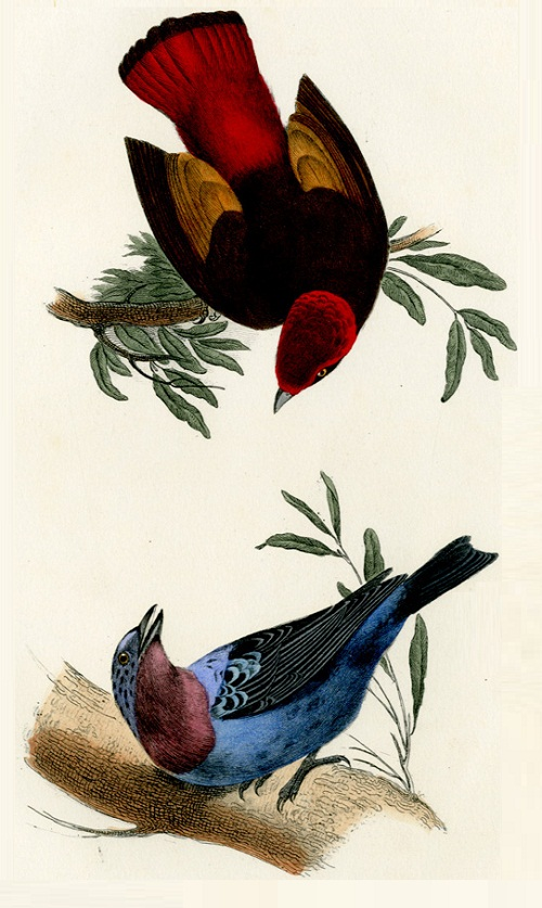 Lemaire antique prints of exotic birds