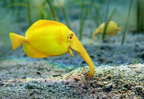 Elephant fish-fake and real. this elephant fish image appeared on the net
